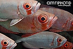 red eyed fish